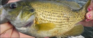 This is an image of a Smallmouth Bass. These fish are fighters and fun to catch