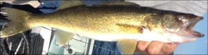 This is and image of a walleye caught from Lake Oahe on the South Dakota Missouri River