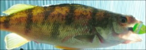 This is an image of the Yellow Pearch found in South Dakota Lakes