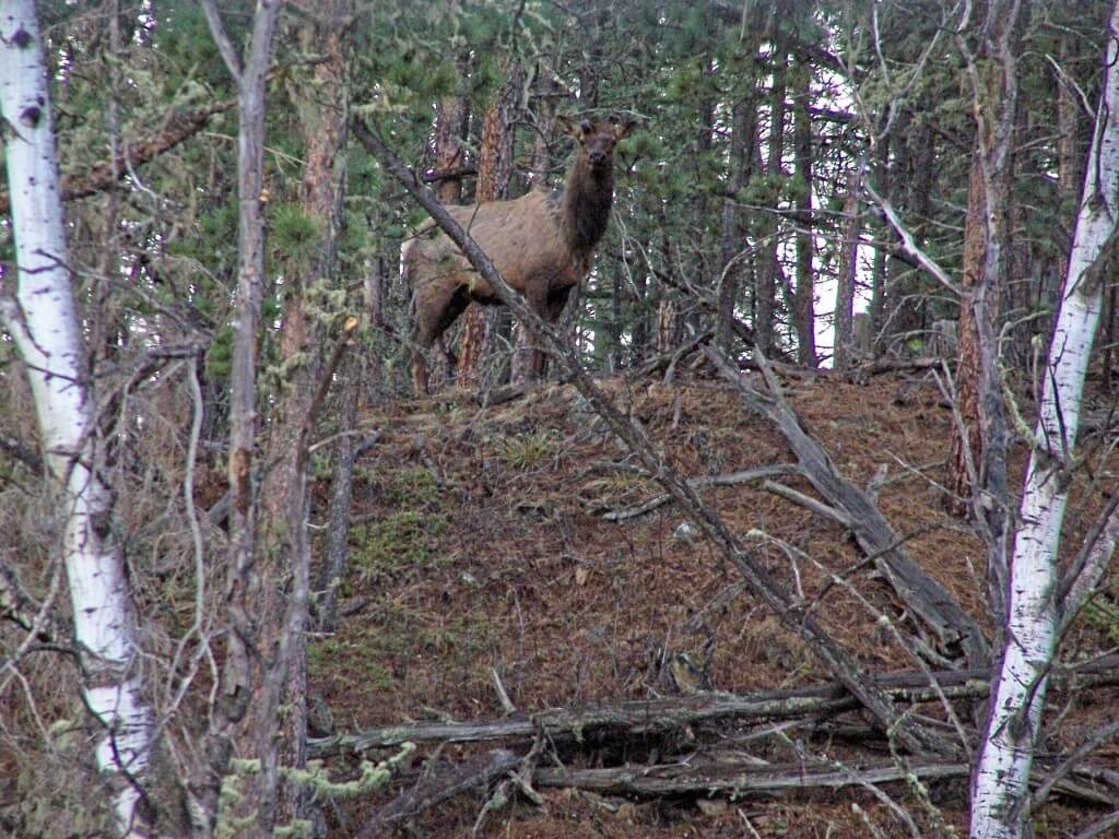 This is an image of an elk taken in the Black Hills National Forest. There is a lot of wildlife in this area and it is a great idea to bring your camera. This picture was taken near castle peak campground near deerfield lake. Make sure not to get to close to wild animals because they can be dangerous especially during the rutting season in the fall.